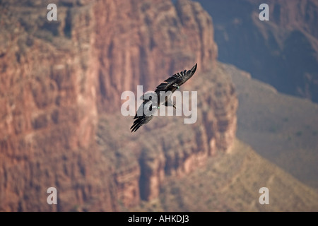 California Condor (Gymnogyps californianus) Arizona - Stock Photo