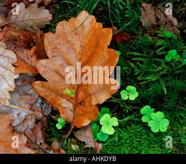 Oak leaves in autumn brown after rain lie on a mossy rock next to some brightly colourful four leaf clover in the - Stock Photo