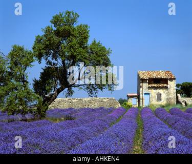 FR - ALPES-DE-HAUTE-PROVENCE:  Lavender Field on Plateau de Valensole near Puimoisson - Stock Photo
