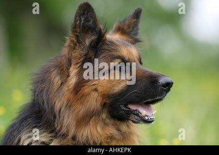 Old German Shepherd. Portrait of adult dog - Stock Photo