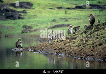 Bonnet monkeys in Periyar Wildlife Reserve A familiy of Bonnet Monkeys play by the lake in the Periyar Wildlife - Stock Photo