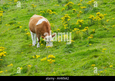 Common Ragwort, Senecio jacobae, in a field grazed by beef cattle - Stock Photo