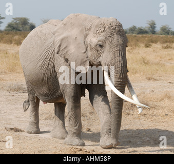 Female elephant with long crossed over tusks in Amboseli National Park Kenya East Africa - Stock Photo