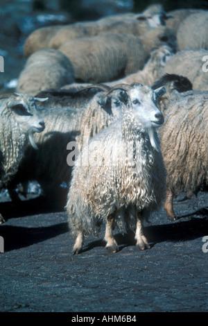Merino Sheep - Stock Photo