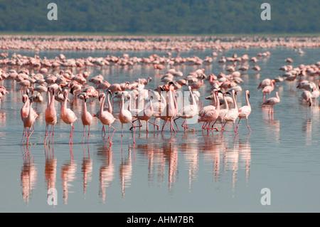 Lesser Flamingos in Lake Nakuru Lake Nakuru National Park Kenya East Africa - Stock Photo