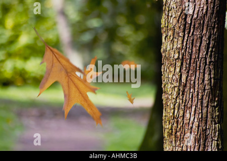 Autumn Leaves falling from a tree - Stock Photo