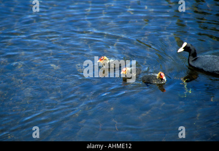 Coot and three babies - Stock Photo
