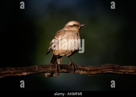 Chalk browed mockingbird Mimus saturninus Brazil - Stock Photo