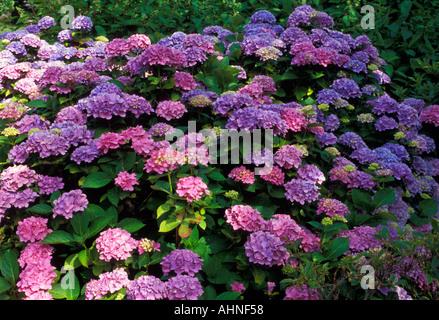 Hydrangea macrophylla Bodensee - Stock Photo