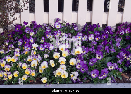 A herbaceous border of violas var Witrockiana Supreme against a white picket fence - Stock Photo