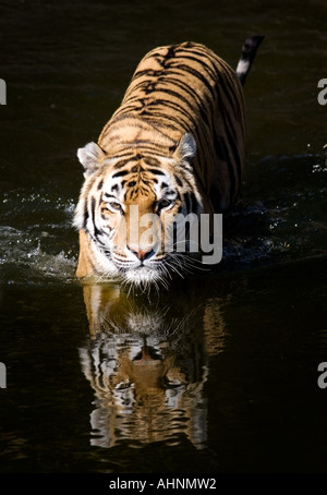 Panthera tigris altaica - Stock Photo