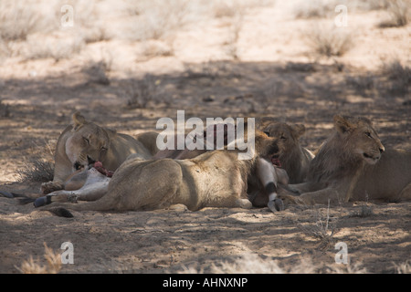 African Lion pride with carcass in the Kalahari desert - Stock Photo