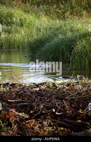 Two beavers swimming near their dam in the Porcupine Hills in scenic Saskatchewan Canada - Stock Photo