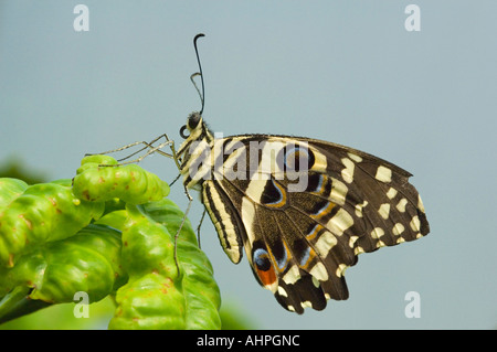 Close up of a Citrus Swallowtail (Papilio Demodocus) resting on a green leaf. - Stock Photo