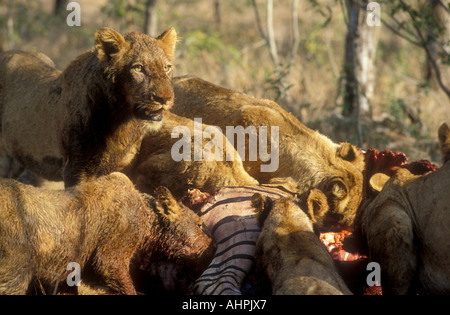 Lion pride in a feeding frenzy on a zebra carcass South Africa - Stock Photo
