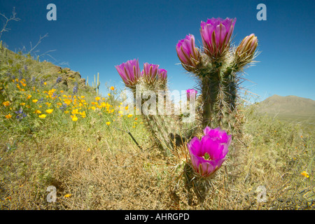 Hedgehog Cactus in bloom and poppy flower in Picacho Peak State Park north of Tucson AZ - Stock Photo