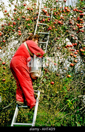 Mexican migrant worker picks apples during harvest time Port Huron Michigan - Stock Photo