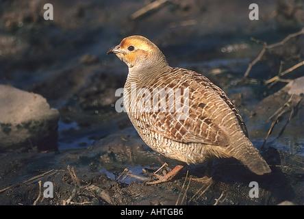 SNA71994 Gray Francolin Francolinus pondicerianus Sariska wildlife sanctuary Rajasthan India - Stock Photo