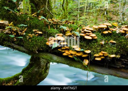 Numerous small fungi on tree branch over small river Curak in Zeleni vir park near Skrad in Croatia - Stock Photo