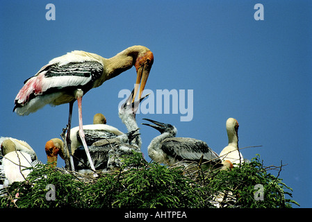 Painted Stork bird feeding young Mycteria leucocephala Kokkare Bellur Banglore Karnataka India - Stock Photo