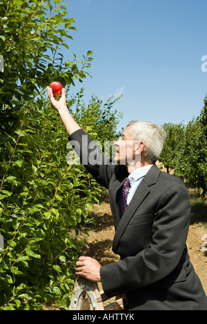 Man picking apple on top of ladder in orchard. - Stock Photo