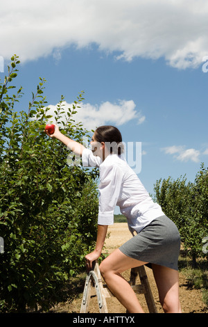Woman on ladder reaching for apple in orchard. - Stock Photo