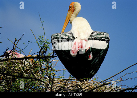SNA71936 bird Painted Stork giving shade to young one Mycteria leucocephala Kokkare Bellur Banglore Karnataka India - Stock Photo
