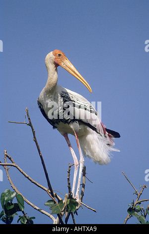 SNA71937 bird Painted Stork Mycteria leucocephala sitting on a branch in Kokkare Bellur Banglore Karnataka India - Stock Photo