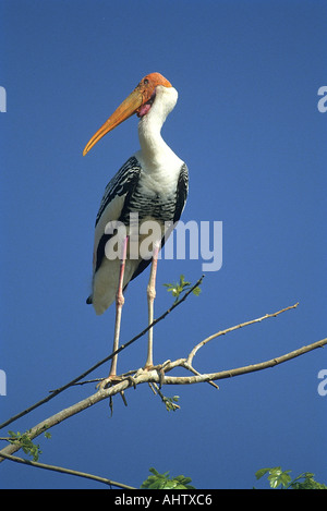 SNA71938 Painted Stork Mycteria leucocephala Kokkare Bellur Banglore Karnataka India - Stock Photo