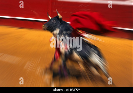 A fighting bull rearing up at the time of a 'pass with the muleta'. Taureau de corrida se cabrant après une passe - Stock Photo