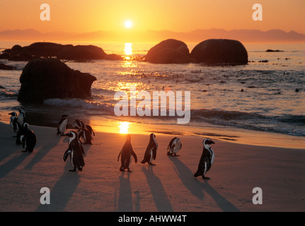 Fourteen 14 Jackass penguins on the beach at The Boulders a bird sanctuary near Simonstown West Cape South Africa - Stock Photo