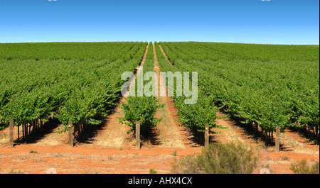 wide image of a farm in the barossa valley with wine grapes growing in rows - Stock Photo