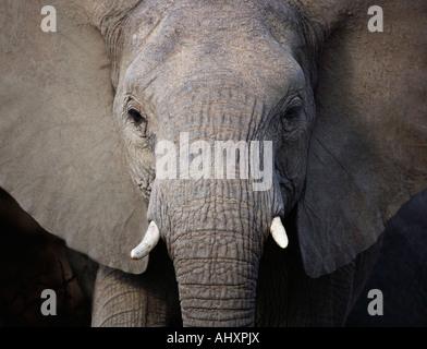 Close up of elephant - Stock Photo