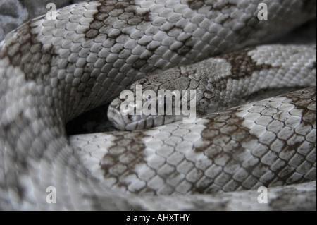 Eastern diamondback rattlesnake Crotalus adamanteus - Stock Photo