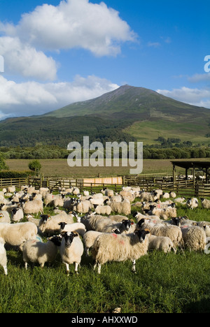 dh Mountain Schiehallion STRATHTUMMEL PERTHSHIRE Penned Scottish Blackface sheep and lambs flock pen of animals - Stock Photo