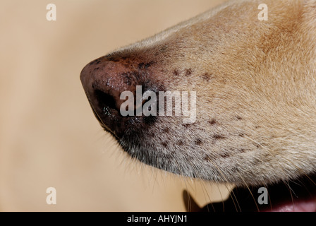 Dog's nose close-up with open mouth panting and canine tooth - Stock Photo