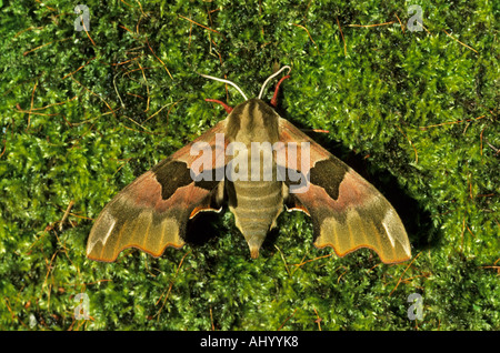 Lime Hawk Moth Mimas tiliae Essex UK IN000247 - Stock Photo
