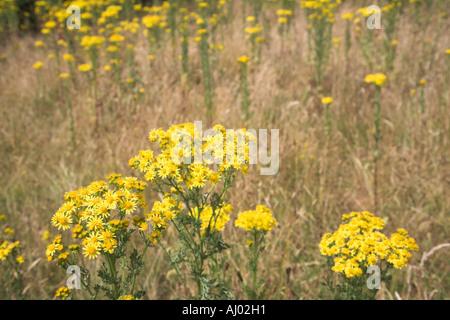 Yellow flowers of common ragwort Senecio jacobaea on heathland in Suffolk England - Stock Photo