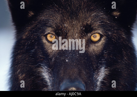 Close up on the intense yellow eyes of a very dark colored Gray Wolf Canis lupus in Teton County Idaho - Stock Photo