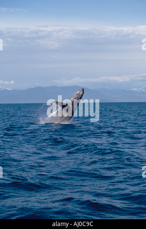 Humpback Whale Megaptera novaeangliae breaching in Alaskan waters Stephans Passage southeast Alaska - Stock Photo