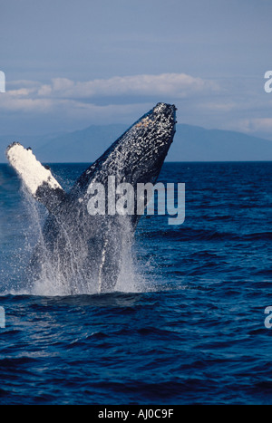 Humpback Whale Megaptera novaeangliae breaching in Alaskan waters Stephans Passage southeast Alaska - Stock Photo