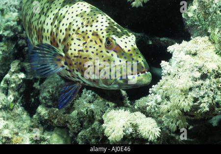 Sea bass in the wild. - Stock Photo