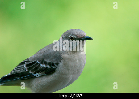 bird named mockingbird mimus polyglottos texas state bird the mocker was adopted as the state bird