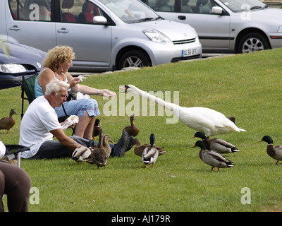 Old couple sitting on grass beside a Canal feeding swan and ducks - Stock Photo