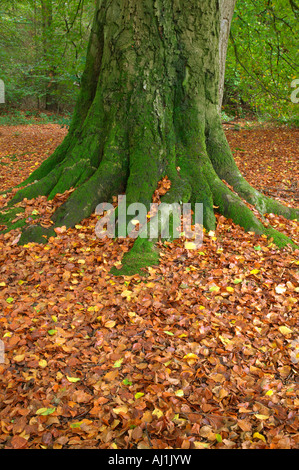 Moss covered trunk of an old beech tree and fallen leaves during Autumn - Stock Photo