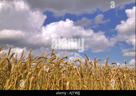 Wheat field under a blue cloudy sky - Stock Photo