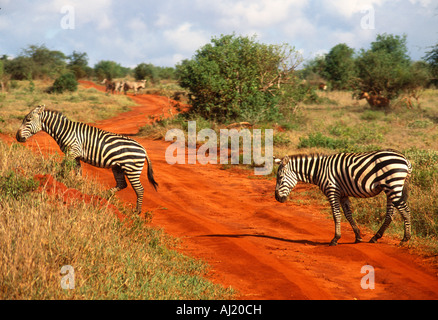 two Zebras crossing track in Game Park - Stock Photo