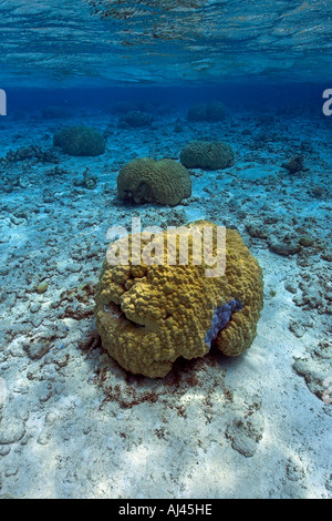 Massive coral heads Porites sp Ailuk atoll Marshall Islands Pacific - Stock Photo