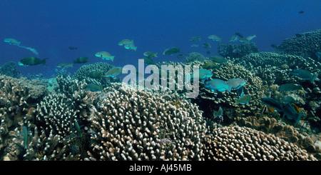 Pacific Steephead Parrotfish Chlorurus Microrhinos Namu Atoll Stock Photo Royalty Free Image
