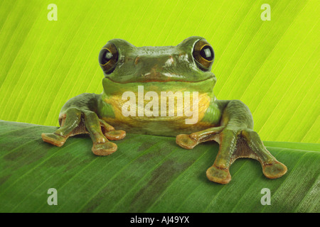 Blanford's whipping frog asian gliding tree frog asian gliding treefrog Rhacophorus dennysi - Stock Photo